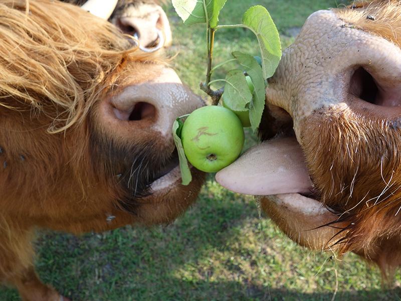 Unterwegs treffen Sie auf diese Fellriesen. Trotz imposanter Hörner sind die Tiere sehr ausgeglichen, wie man am gemeinschaftlichen Apfelverzehr sieht.